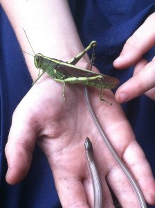 Grasshopper with small glass snake